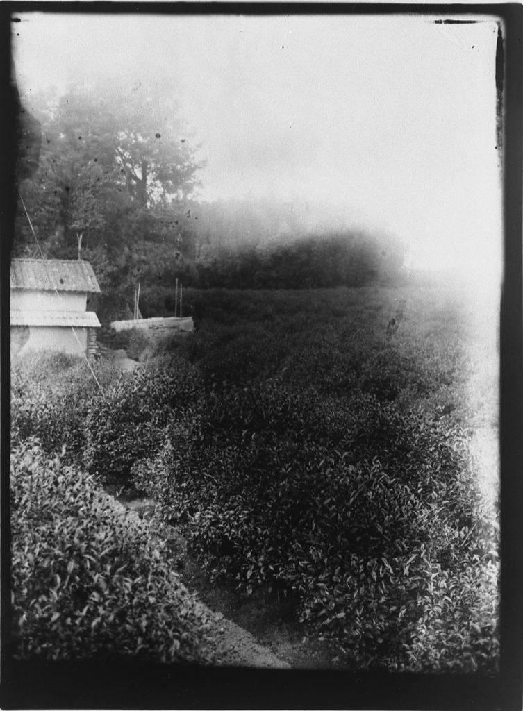 作品画像:茶畑