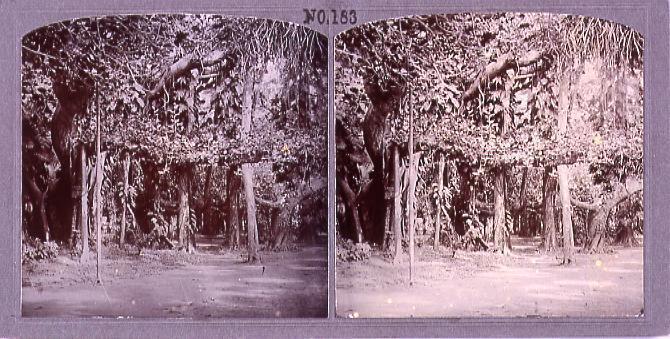 作品画像:榕樹(パンヤントリー)(No.183)