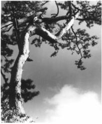 作品画像:(松と雲)