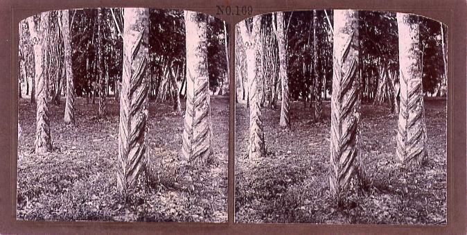 作品画像:護謨樹(No.169)