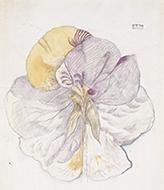 作品画像:スミレの花