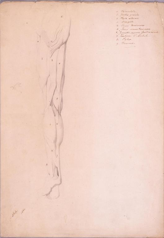 作品画像:素描 人体解剖図(足)