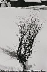 作品画像:若木迎え ミズクサの木