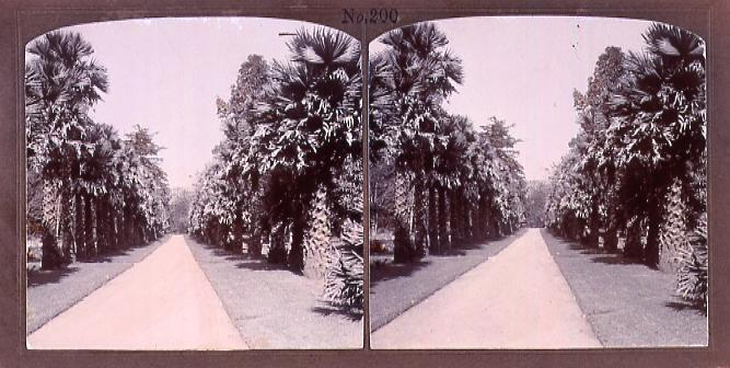 作品画像:セイロンの棕櫚並木(No.200)