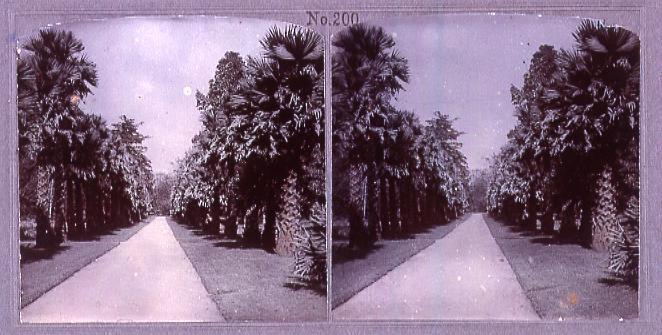 セイロンの棕櫚並木(No.200)