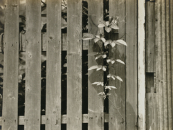 作品画像:(木の塀からのぞく植物)