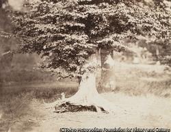 作品画像:フォンテーヌブローの森のブナの木