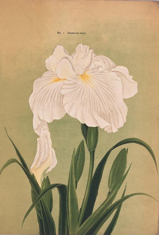 作品画像:横浜植木花菖蒲輸出カタログ 25種類
