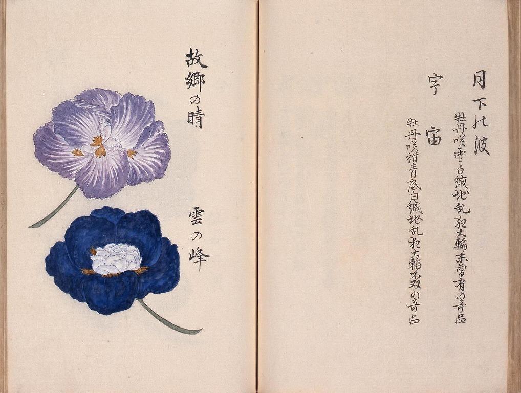 作品画像:花菖培養録 嘉永二年版草稿写