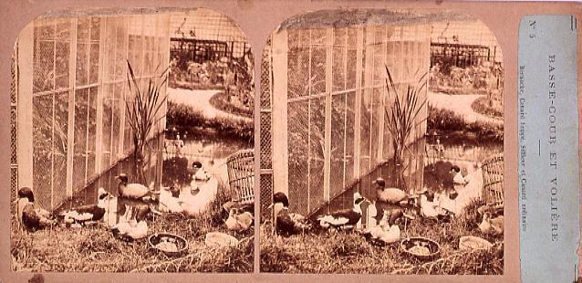作品画像:外国製ステレオ写真 Bernache Canard huppe,Siffleur et Canard ordinaire. No.5