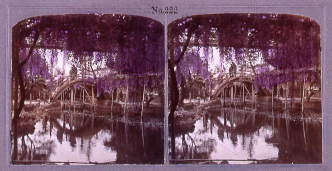 作品画像:亀戸天神の藤(No.222)
