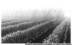 作品画像:芦花が好んだ麦畑