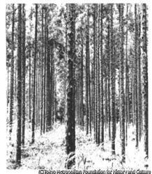 作品画像:杉木