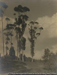 作品画像:(高く伸びた木々)