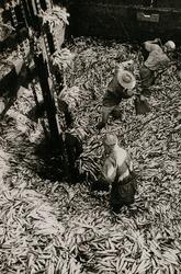作品画像:「水産日本の宝庫・北鮮の鰯」より (3)