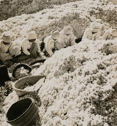 作品画像:「棉をつくる朝鮮婦人の勤労画報」より (3)