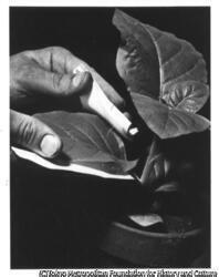 作品画像:葉片培養をとる