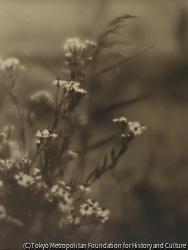 作品画像:(野の花)