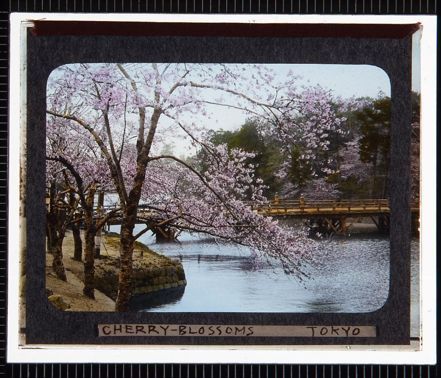作品画像:東京 桜(幻燈原板)