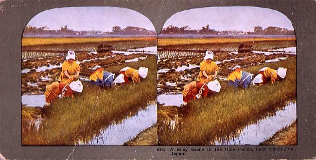 A Busy Scene in the Rice Fields,near Yokohama,Japan.635