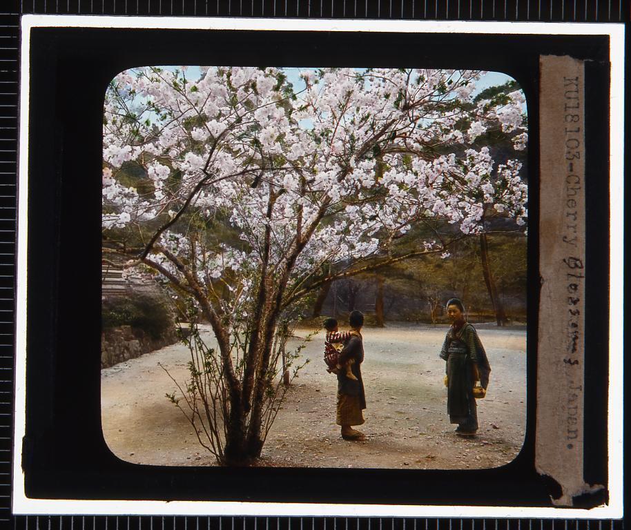 作品画像:桜(幻燈原板)