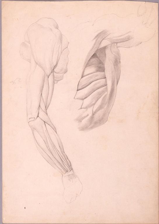 作品画像:素描 人体解剖図 (手/足)