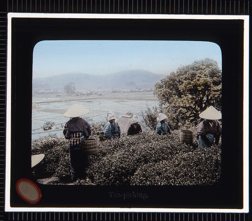 茶摘み(幻燈原板)