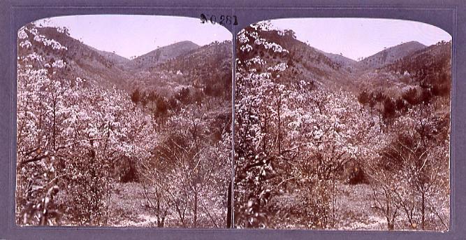 作品画像:満州の桜桃(ゆずらうめ)(No.281)