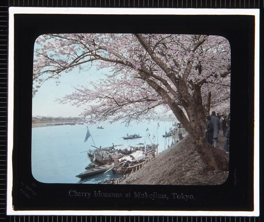 作品画像:東京 向島の桜(幻灯原板)